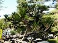 Bonsai:盆栽