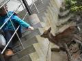 A deer in Miyajima:宮島の鹿